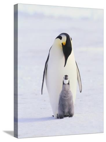 Emperor Penguin and Baby--Stretched Canvas Print