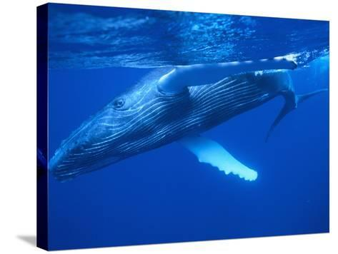 Humpback Whale--Stretched Canvas Print