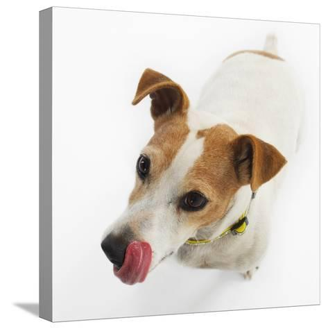 Jack Russell Terrier-Russell Glenister-Stretched Canvas Print