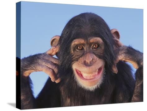 Chimpanzee--Stretched Canvas Print