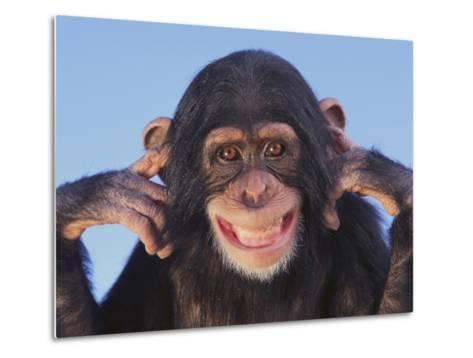 Chimpanzee--Metal Print