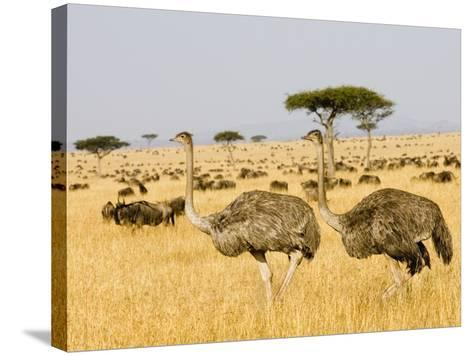 Ostriches and Wildebeests-Hal Beral-Stretched Canvas Print