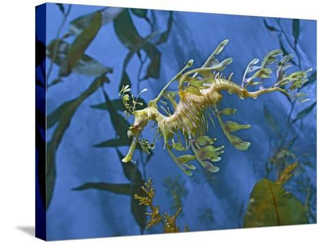 Close-Up of Leafy Sea Dragon-Hal Beral-Stretched Canvas Print