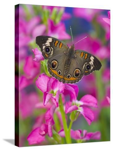 Buckeye Butterfly-Darrell Gulin-Stretched Canvas Print