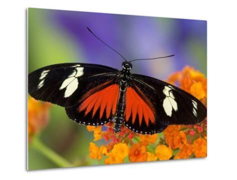 Heliconius Doris in Red Phase Resting on Lantana-Darrell Gulin-Metal Print