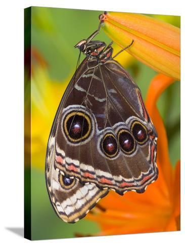 Blue Morpho Resting on an Orange Asiatic Lily-Darrell Gulin-Stretched Canvas Print