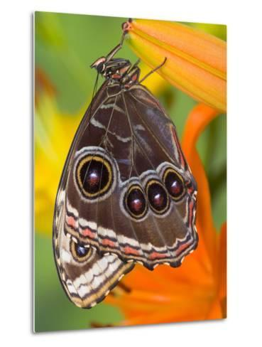 Blue Morpho Resting on an Orange Asiatic Lily-Darrell Gulin-Metal Print