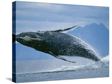 Breaching Humpback Whale-Paul Souders-Stretched Canvas Print