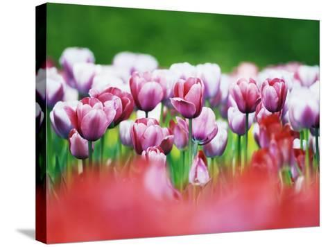 Pink Tulips-Frank Krahmer-Stretched Canvas Print