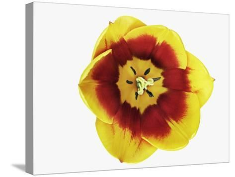 Tulip Blossom-Frank Krahmer-Stretched Canvas Print