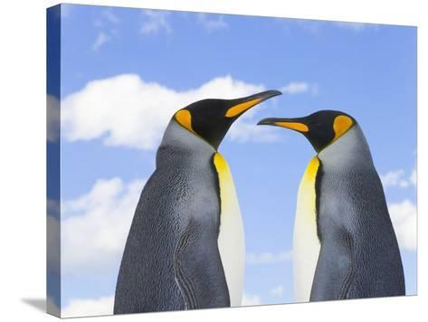King Penguins-John Eastcott & Yva Momatiuk-Stretched Canvas Print