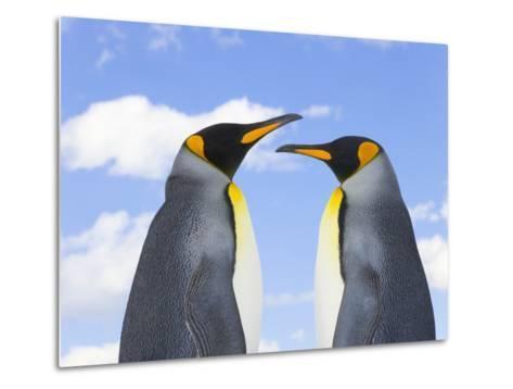 King Penguins-John Eastcott & Yva Momatiuk-Metal Print