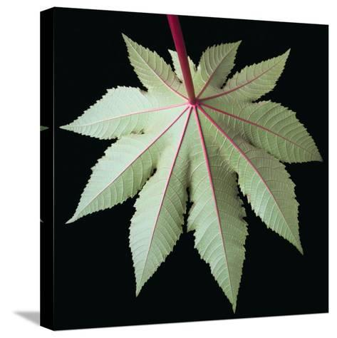 Leaf and Stem-Tim Mcguire-Stretched Canvas Print