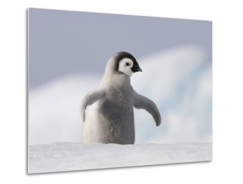 Emperor Penguin Chick in Antarctica-Paul Souders-Metal Print