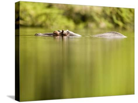 Hippopotamus Submerged in Natural Pool-Paul Souders-Stretched Canvas Print