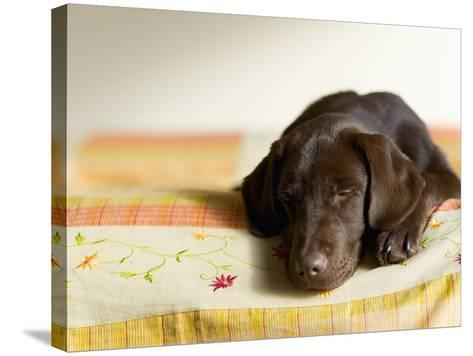 Chocolate Lab Puppy on Bed-Jim Craigmyle-Stretched Canvas Print