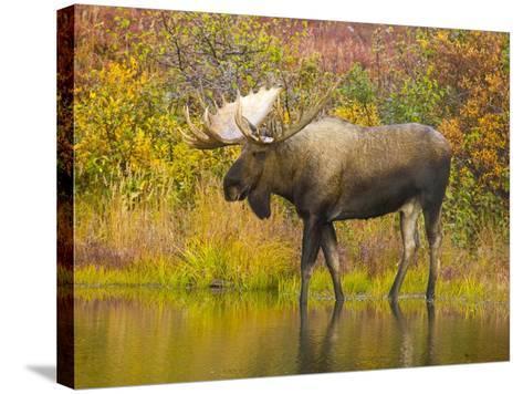 Moose Bull in Pond in Alaska-John Eastcott & Yva Momatiuk-Stretched Canvas Print