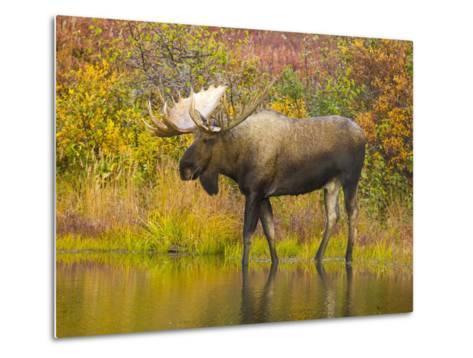 Moose Bull in Pond in Alaska-John Eastcott & Yva Momatiuk-Metal Print