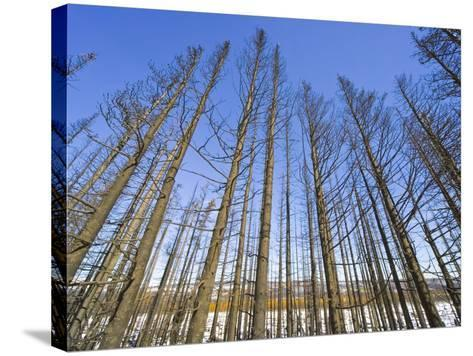 Forest After Fire-John Eastcott & Yva Momatiuk-Stretched Canvas Print