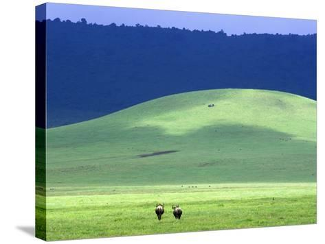 Wildebeest on Grassland in Ngorongoro Crater-Tibor Bogn?r-Stretched Canvas Print