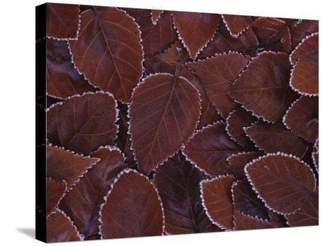 Frost-Edged Leaves-Philip James Corwin-Stretched Canvas Print