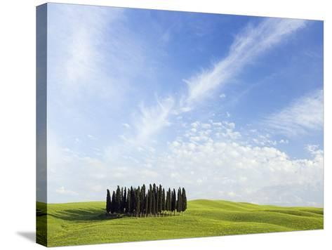 Stand of Cypress Trees in Meadow-Frank Lukasseck-Stretched Canvas Print