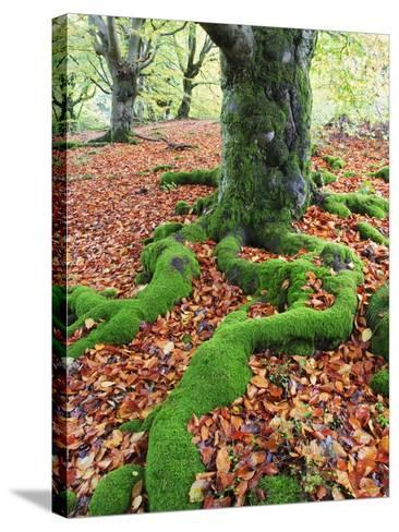 Moss Covered Roots Surrounded by Leaves-Frank Lukasseck-Stretched Canvas Print