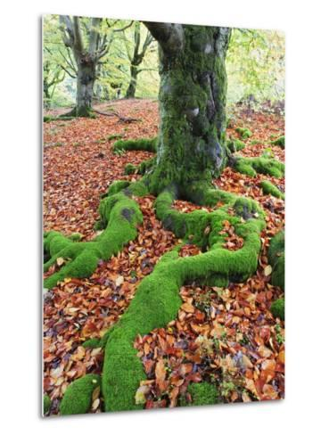Moss Covered Roots Surrounded by Leaves-Frank Lukasseck-Metal Print