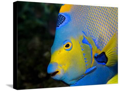 Queen Angelfish (Holacanthus Ciliaris)-Stephen Frink-Stretched Canvas Print