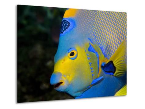 Queen Angelfish (Holacanthus Ciliaris)-Stephen Frink-Metal Print