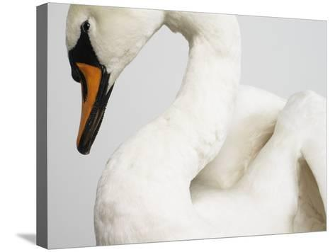 Mounted Swan-J^ James-Stretched Canvas Print