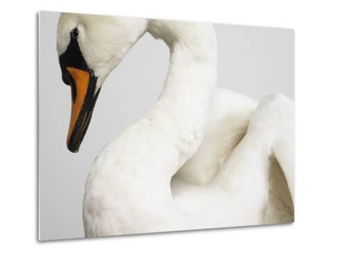 Mounted Swan-J^ James-Metal Print