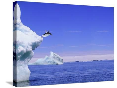 Adelie Penguin Jumping From Iceberg--Stretched Canvas Print