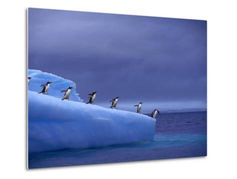 Gentoo Penguins on Iceberg--Metal Print