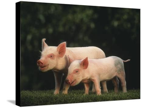 Yorkshire Piglets--Stretched Canvas Print