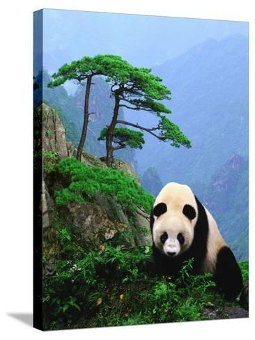 Giant Panda--Stretched Canvas Print