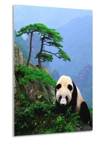 Giant Panda--Metal Print