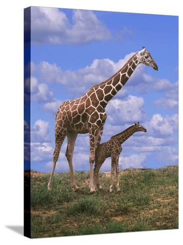 Reticulated Giraffe with Young--Stretched Canvas Print