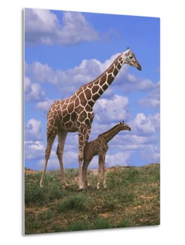 Reticulated Giraffe with Young--Metal Print