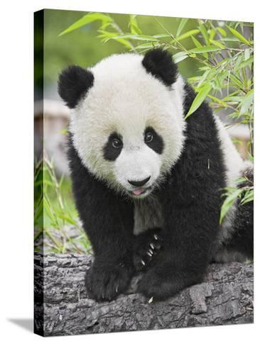 Baby Giant Panda-Frank Lukasseck-Stretched Canvas Print