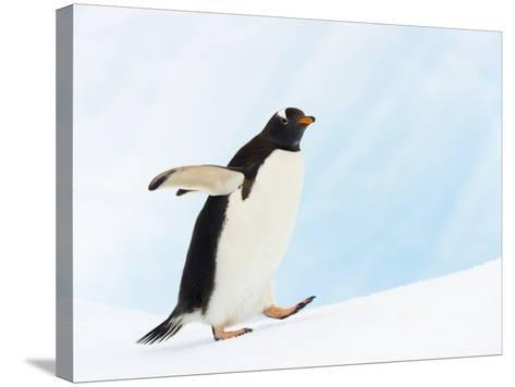 Gentoo Penguin on Iceberg in Gerlache Strait-John Eastcott & Yva Momatiuk-Stretched Canvas Print