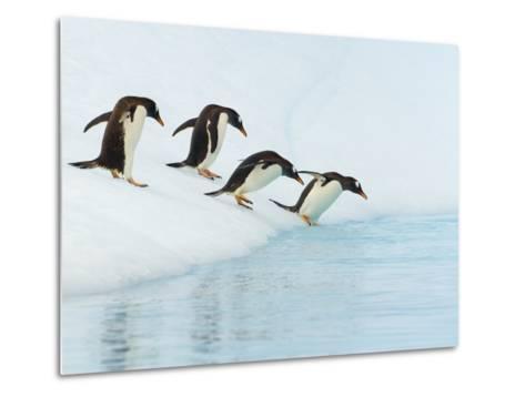 Gentoo Penguins Contemplating Jumping into Gerlache Strait-John Eastcott & Yva Momatiuk-Metal Print
