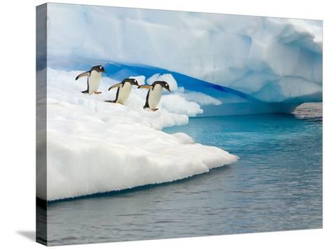 Gentoo Penguins Contemplating Jumping into Gerlache Strait-John Eastcott & Yva Momatiuk-Stretched Canvas Print