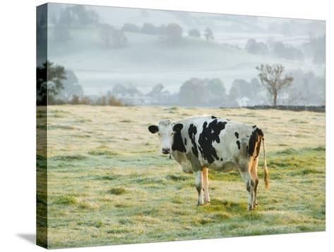 Friesen Cow Standing in Pasture-Ashley Cooper-Stretched Canvas Print