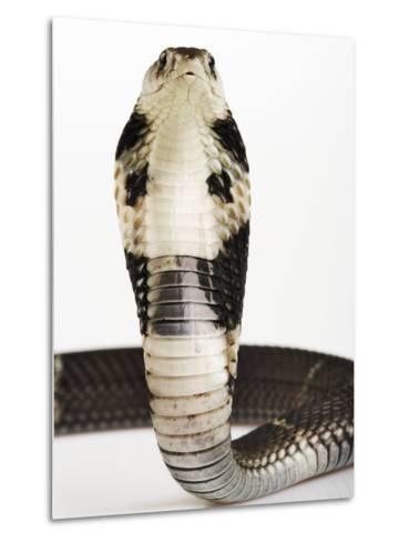 Chinese Cobra-Martin Harvey-Metal Print