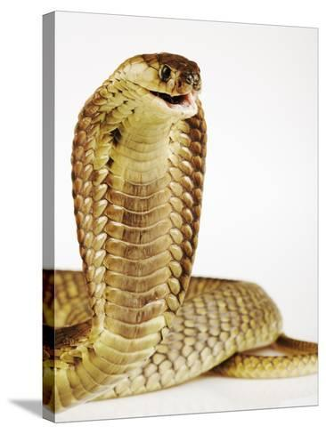 Snouted Cobra-Martin Harvey-Stretched Canvas Print