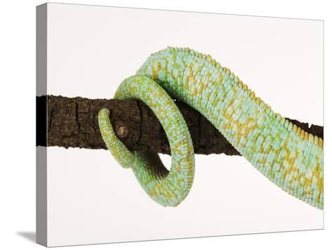 Veiled Chameleon Tail Wrapped Around Twig-Martin Harvey-Stretched Canvas Print