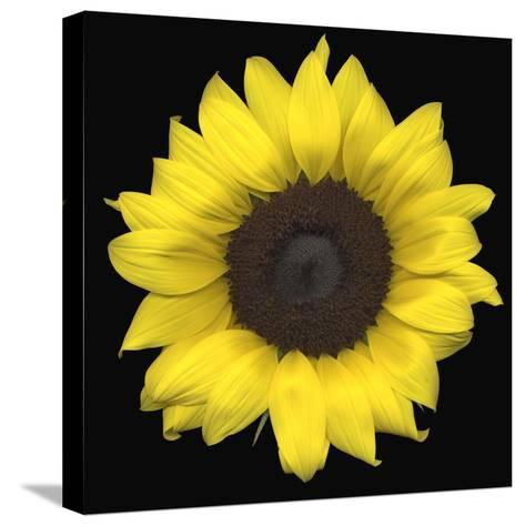 Sunflower--Stretched Canvas Print