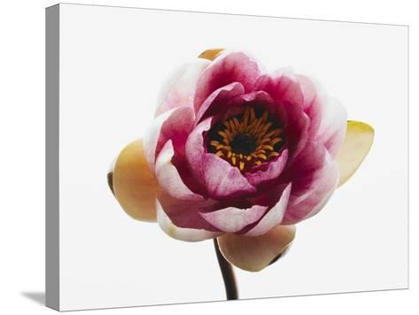 Water lily--Stretched Canvas Print