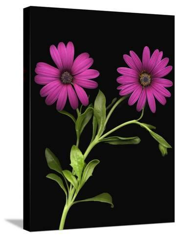 African Daisies--Stretched Canvas Print